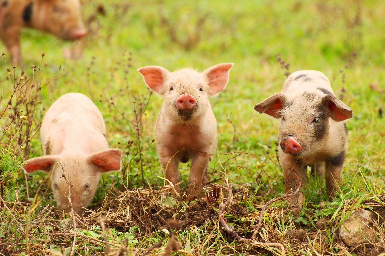 Schweine bringen auch gluck