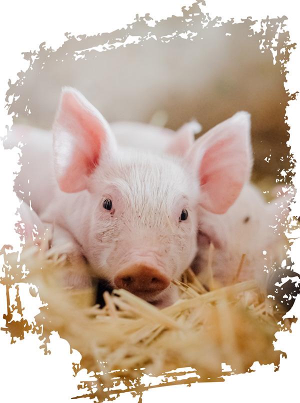 ein Schwein für Glück