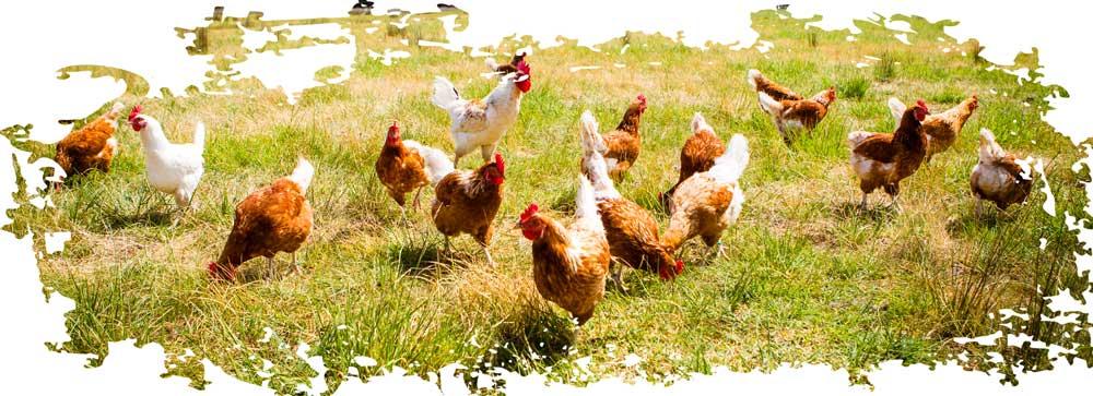 Sichtbarkeit erhöhen Huhn